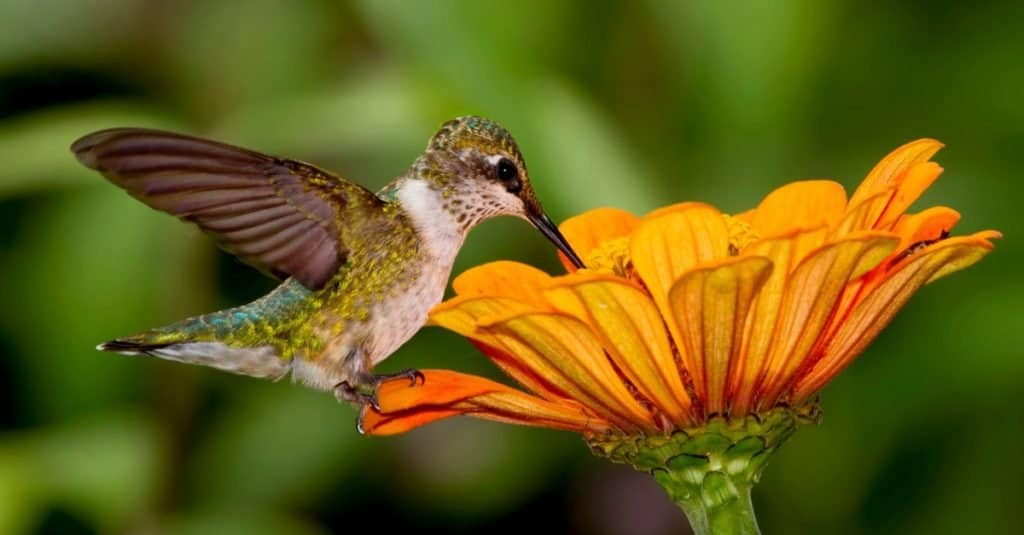 Ruby-Throated Hummingbird sipping nectar from an orange flower.