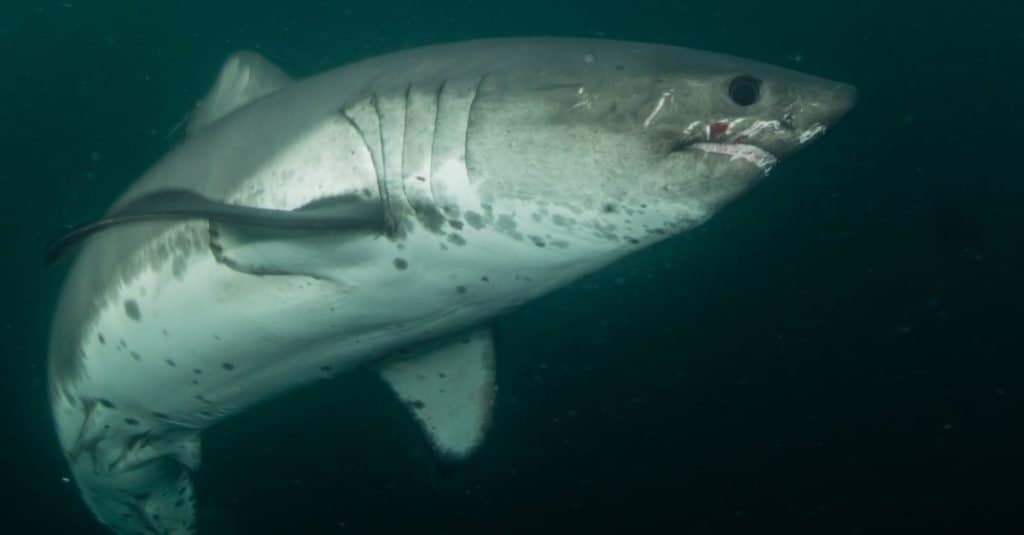 Rare underwater photograph of a Salmon Shark in open water, elusive predator of the Northern <a href=