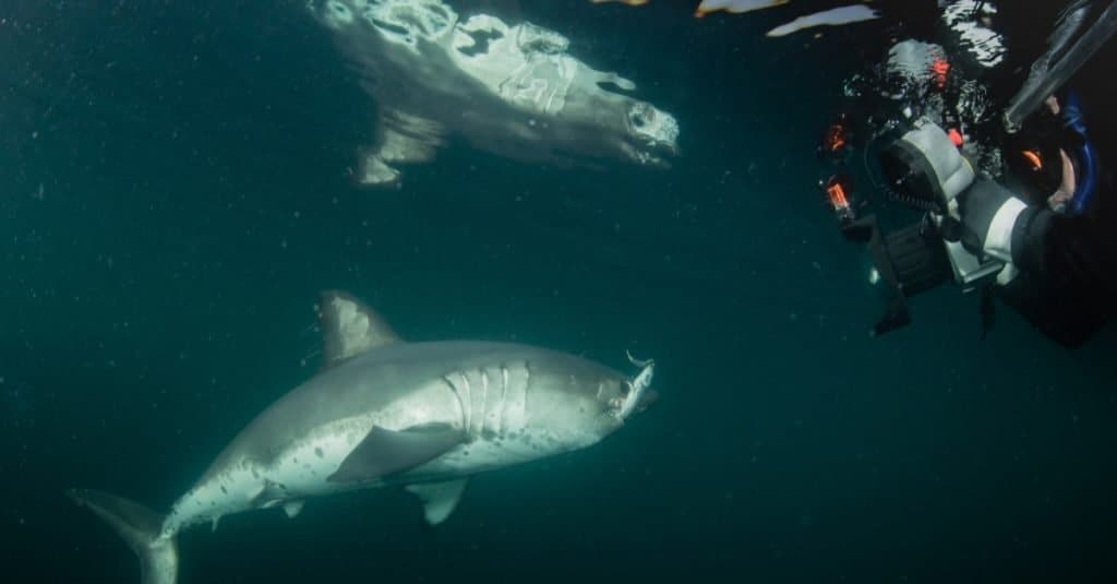 A diver photographing a Salmon Shark in open water.