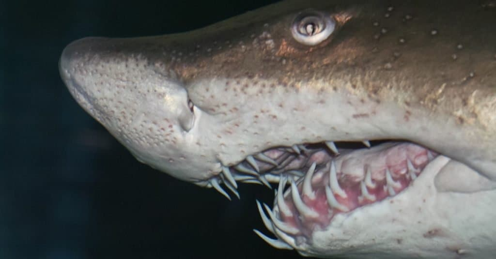 The head of a big sand tiger shark in detail with a dark background.