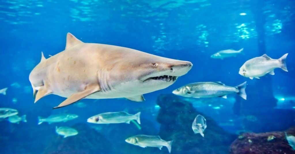 Sand tiger shark (Carcharias taurus) swimming with other fish in an aquarium.