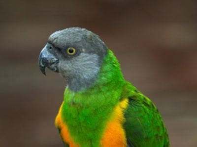 A Senegal Parrot