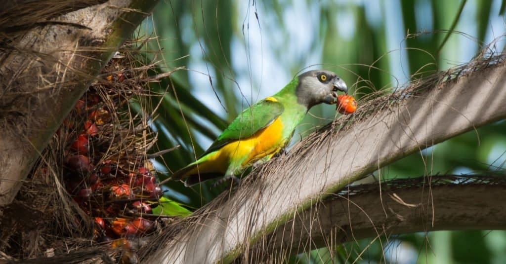 A Senegal Parrot eating fruit from a palm tree.