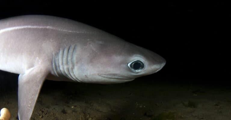 A very rare shot of a Sixgill shark pup.