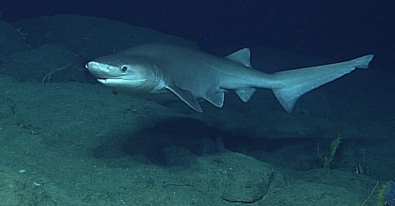 A Sixgill Shark swimming off Vancouver Island, Canada.