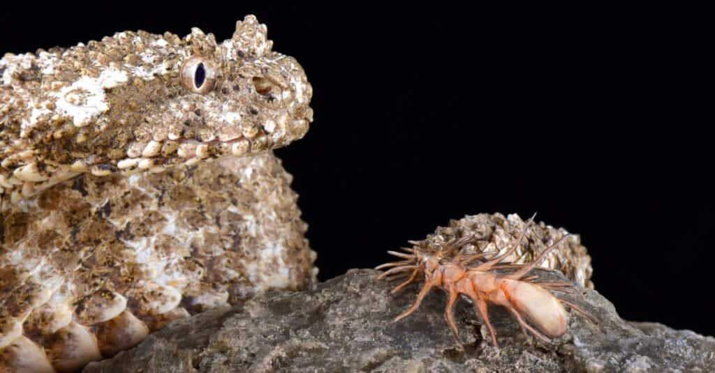 Animals that use mimicry – Spider-tailed Horned Viper