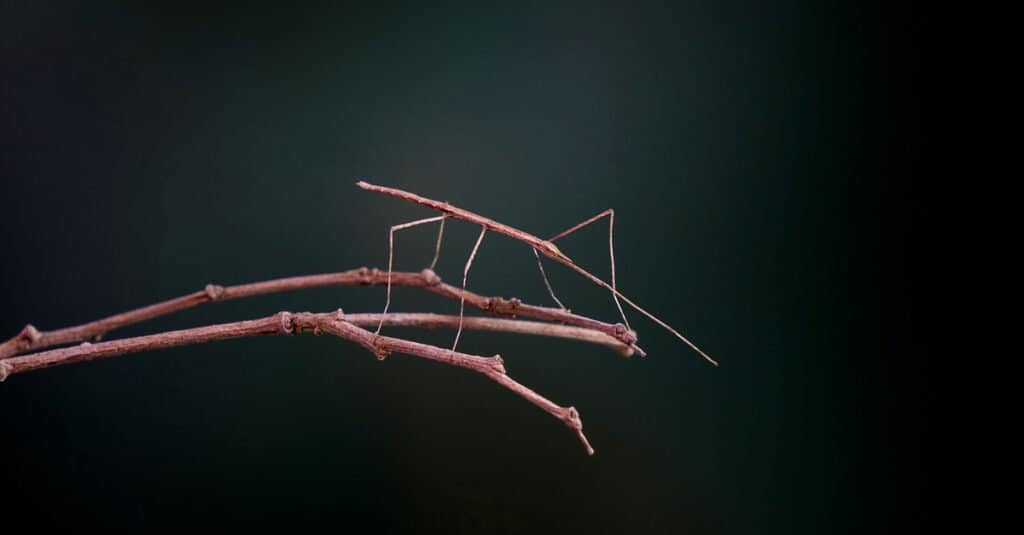 Animals that use mimicry – stick bug