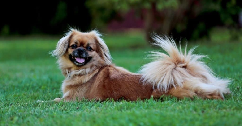 Tibetan spaniel playing on the green grass on a hot day.