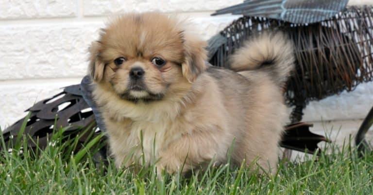 Tibetan Spaniel puppy playing on the grass.