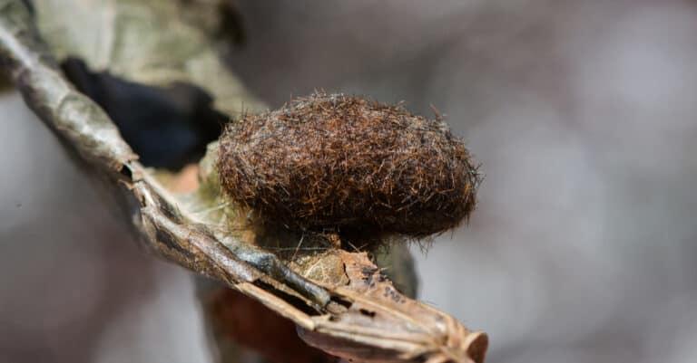 Tiger moth cocoon