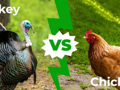 A Turkey vs Chicken: 7 Main Differences Explained