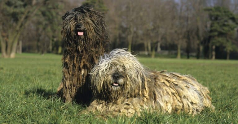 Two adult Bergamascos