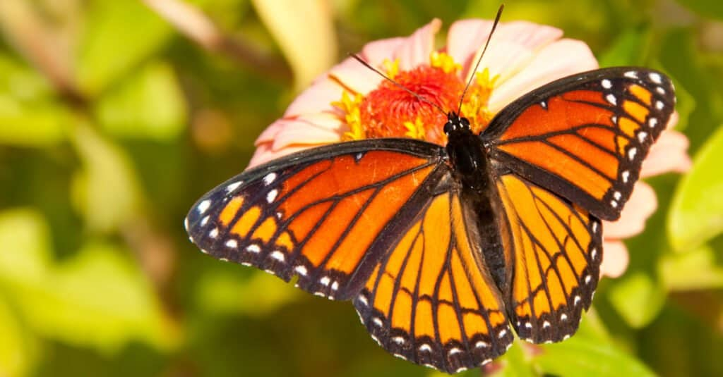 Animals that use mimicry – viceroy butterfly