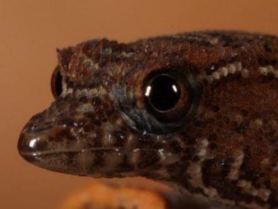 A Virgin Islands Dwarf Gecko