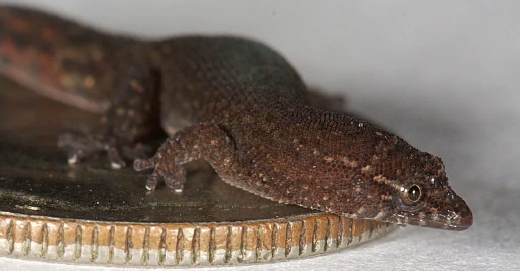 Male Sphaerodactylus parthenopion resting on a U.S. dime.