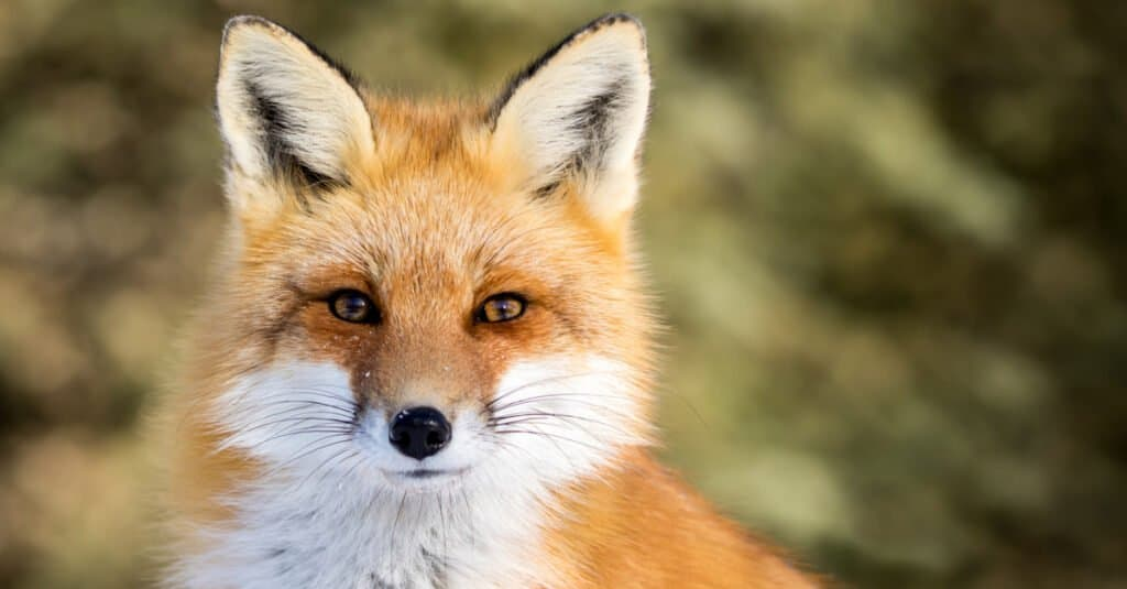 """Animal analogies such as """"Den is to fox as nest is to bird"""" make for great teaching tools."""