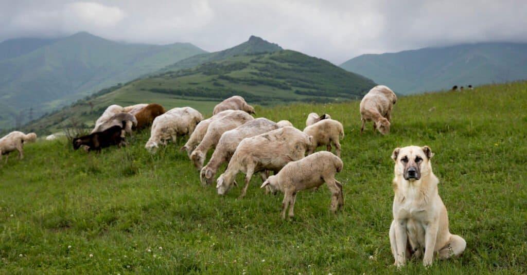Anatolian Shepherd in Armenian Hills, Guarding Sheep