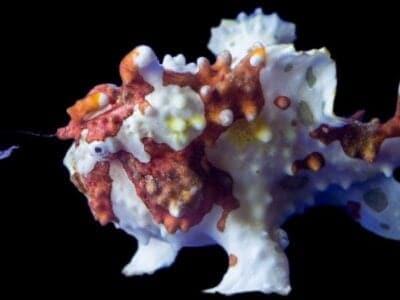 A Anglerfish