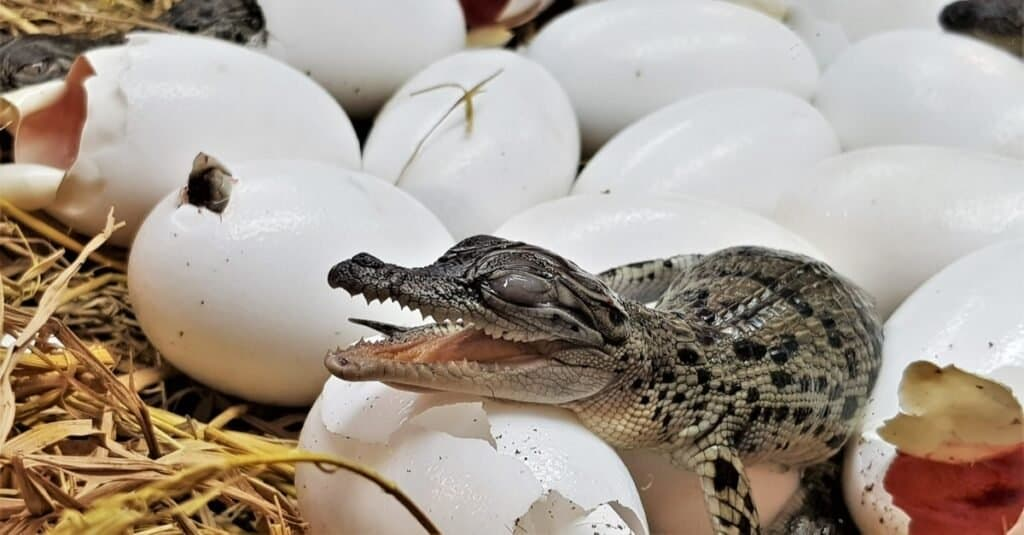 Animals That Lay Eggs: Crocodiles
