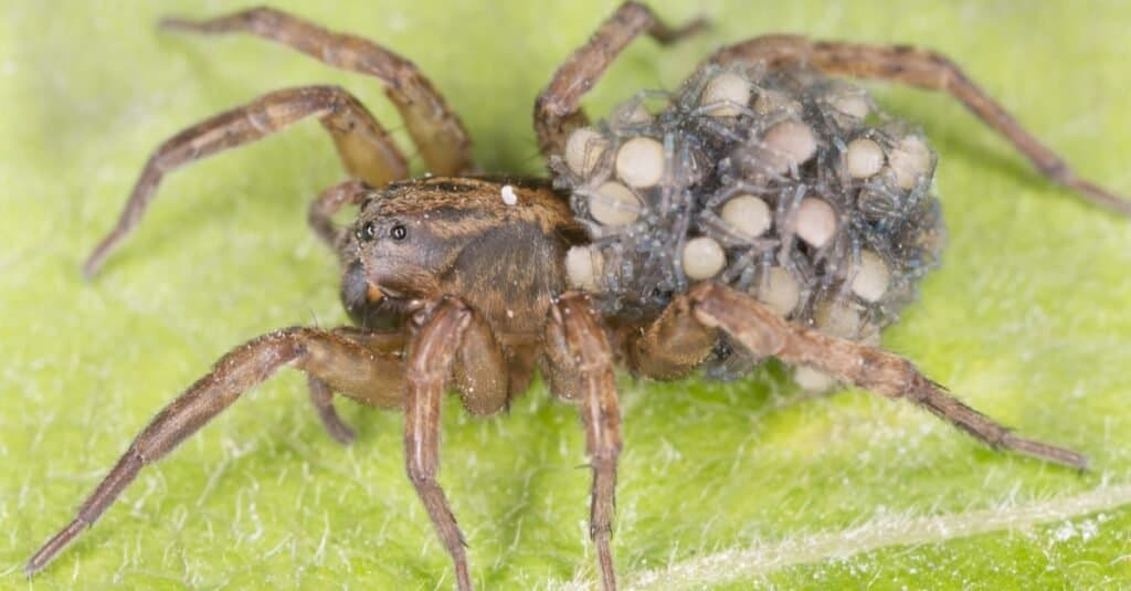 Animals That Lay Eggs_ Spiders