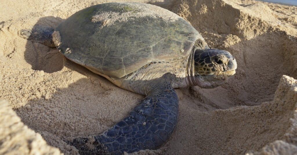 Animals That Lay Eggs: The Sea Turtle