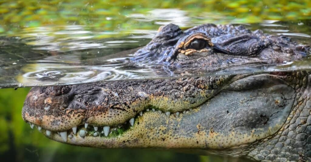 Animals That Live in Coral Reefs: Crocodiles