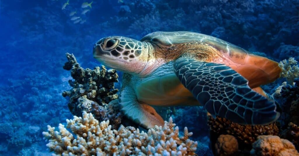 Animals That Live in Coral Reefs: Sea Turtles