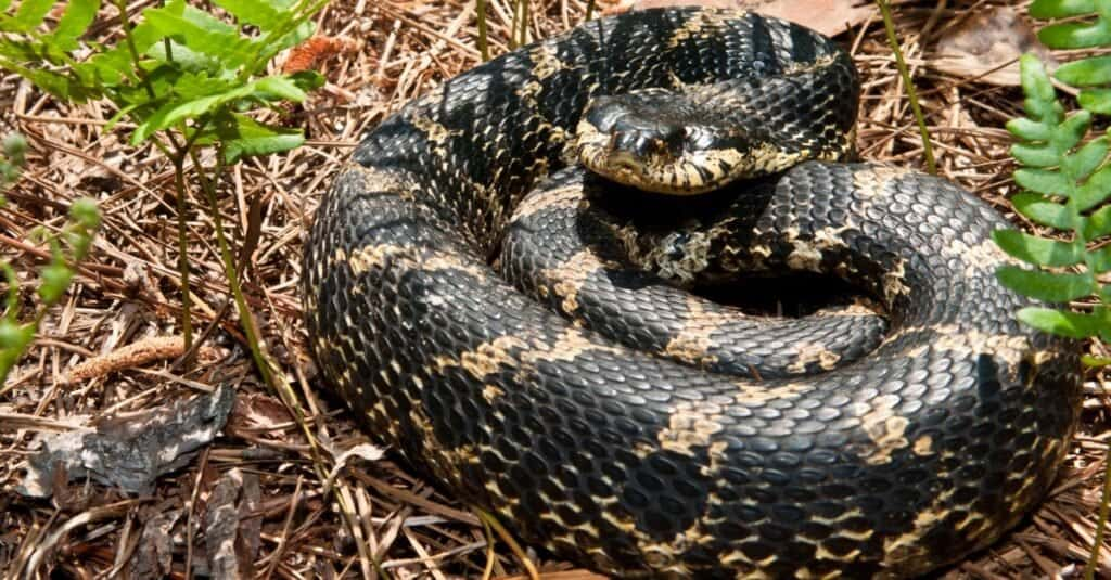 Animals That Play Dead Eastern Hognose Snake