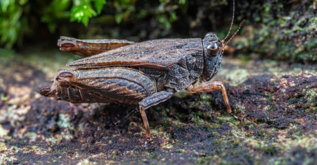 Animals That Play Dead Pygmy Grasshopper
