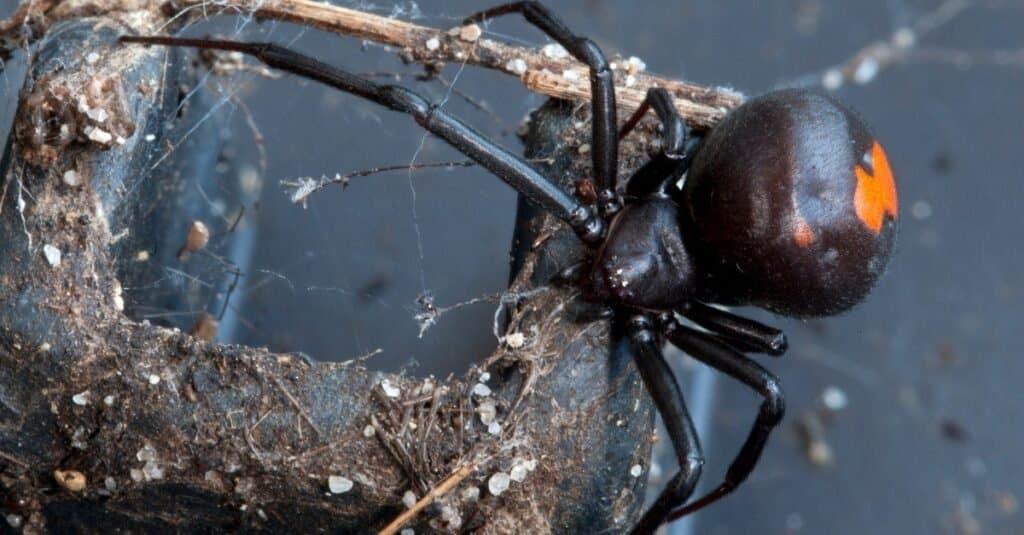 Animals That Play Dead Redback Spider