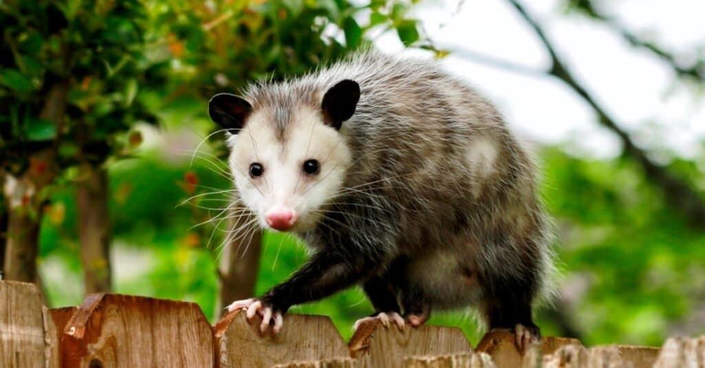 Animals That Play Dead opossum