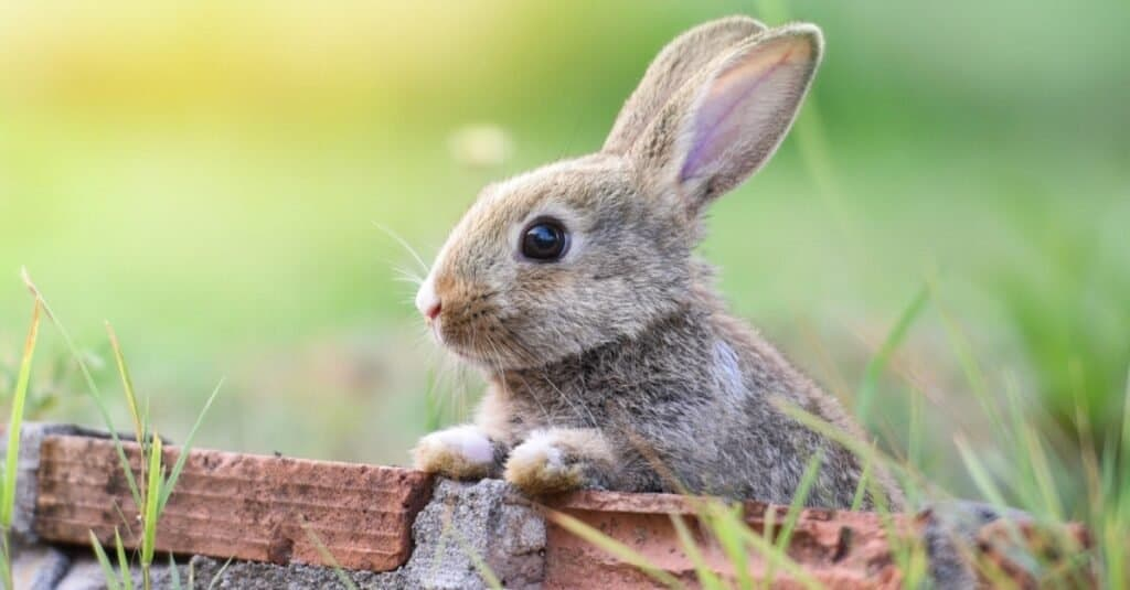 Animals That Play Dead rabbit