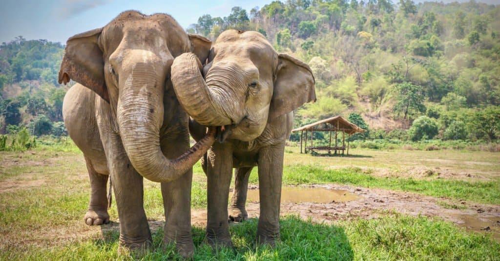 Asian elephants eating together