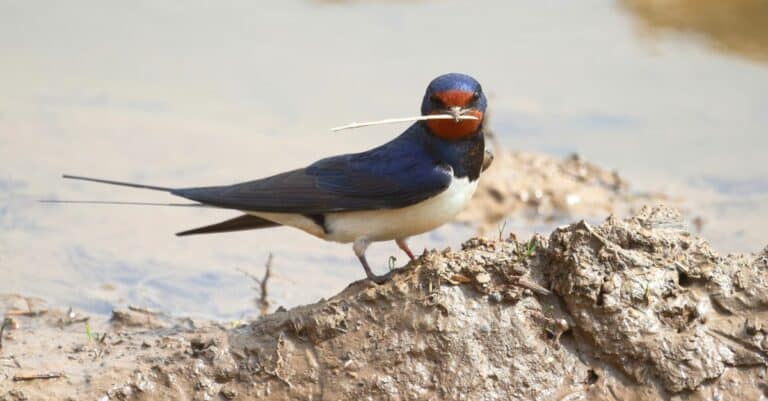A Barn Swallow sits on a clump of clay and holds in its beak a straw found for the construction of a nest.