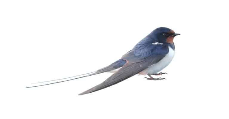 Swallow, Hirundo rustica, on a white background.
