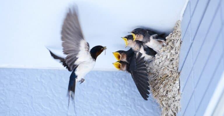 A Barn Swallow feeding baby birds in the nest.