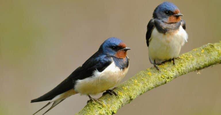 Two Barn Swallows (Hirundo rustica) sitting on a branch.