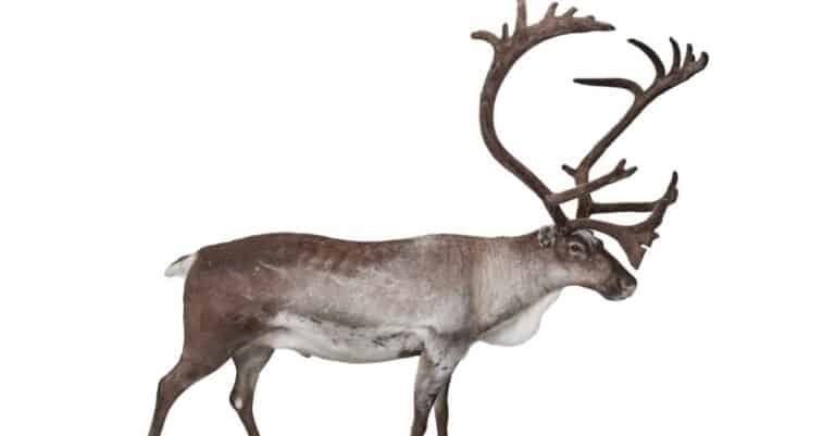 Male reindeer isolated on white background.