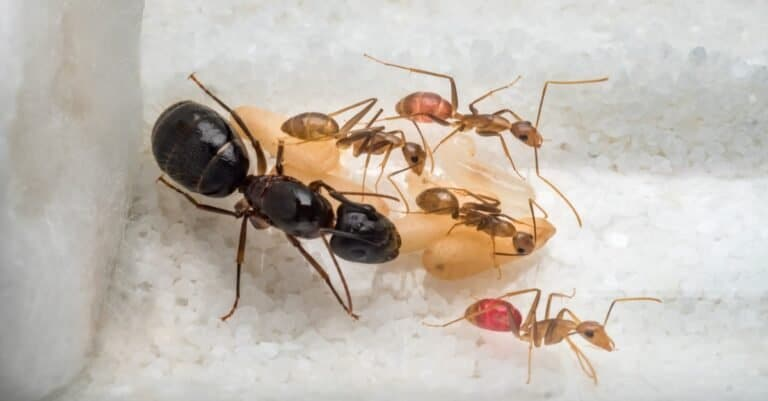 Worker Carpenter ants (Camponotus sp.) taking care of the queen ant, eggs, larva and pupae in test tube.