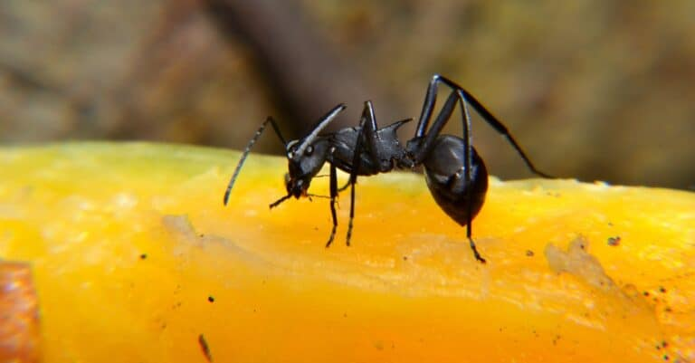 The black carpenter ant is a species of carpenter ant. Camponotus pennsylvanicus is one of the largest species of carpenter ants