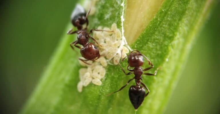 Small wood and plant carpenter ants keeping their eggs on a yellow hibiscus flower.