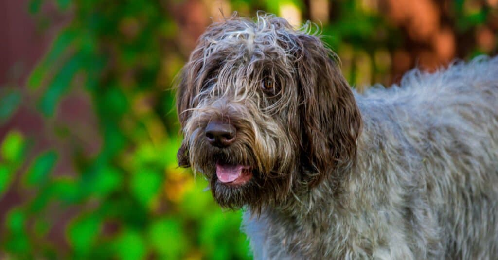 Close-Up of Wirehaired Pointing Griffon