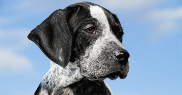 Close-up black and white german shorthaired pointer puppy