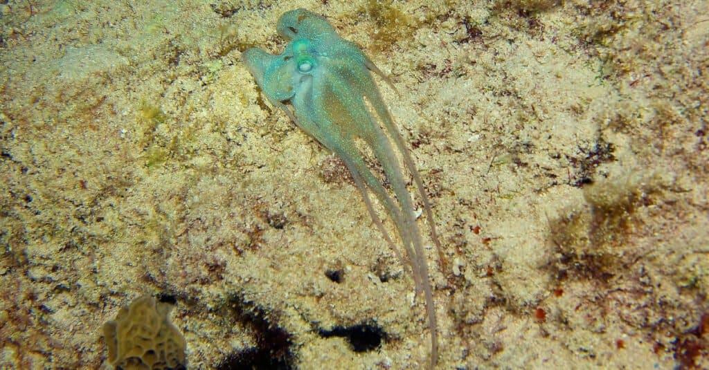 Craziest Animal Adaptations: Atlantic Pygmy Octopus