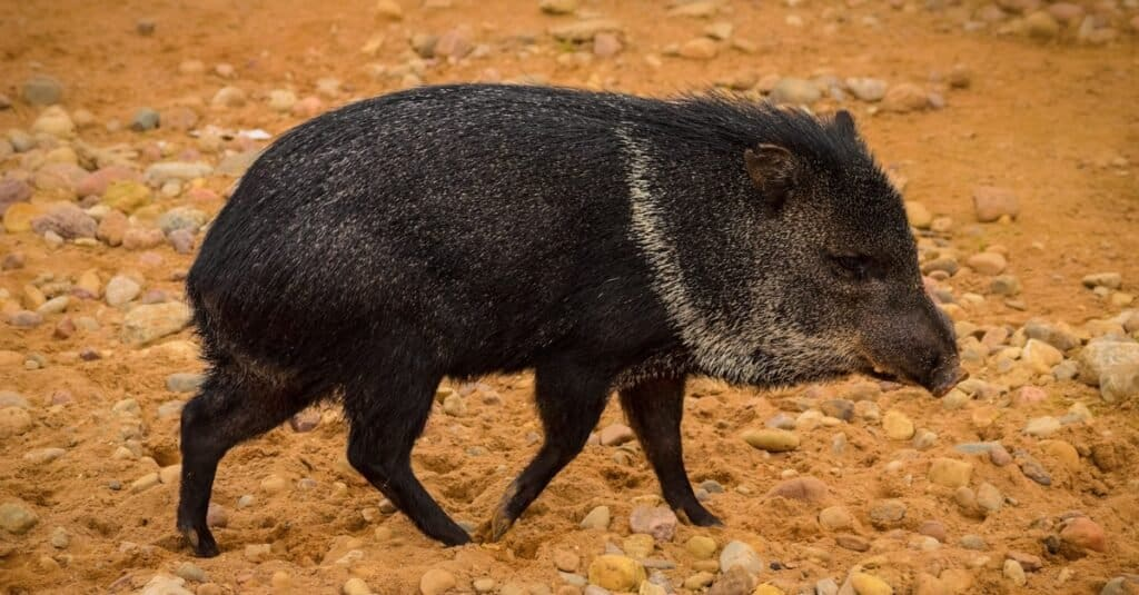 Craziest Animal Adaptations: Collared Peccary