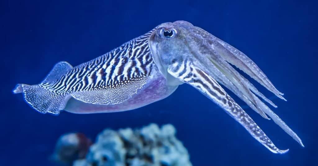 Craziest Animal Adaptations: Cuttlefish