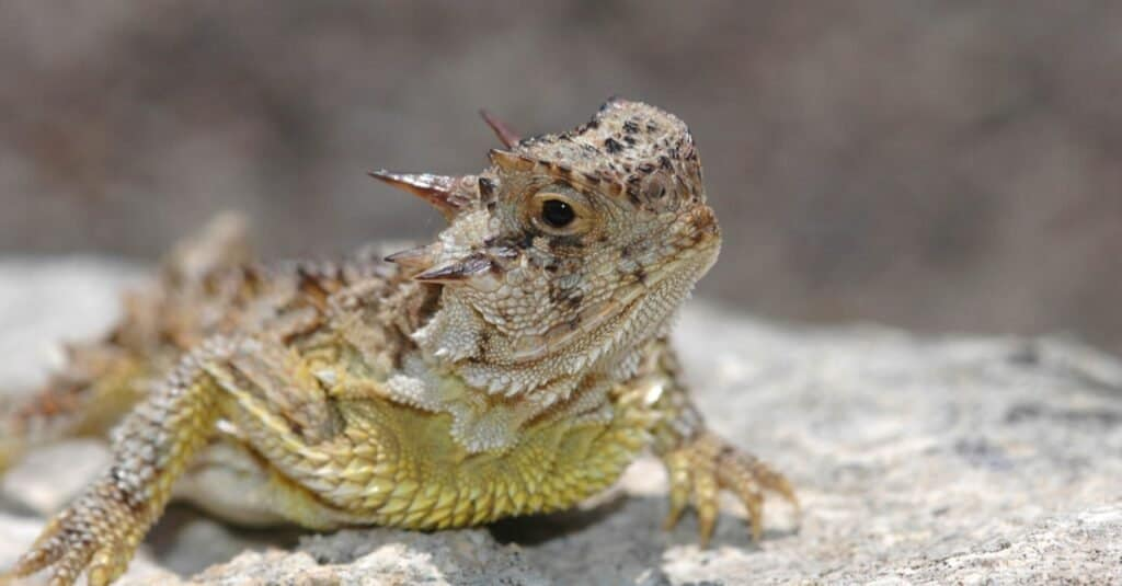 Craziest Animal Adaptations: Horned Lizard