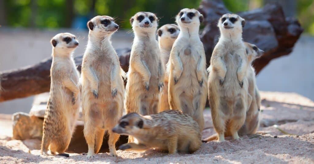 Craziest Animal Adaptations: Meerkat