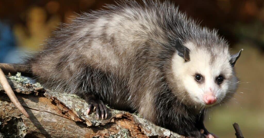 Craziest Animal Adaptations: Opossum