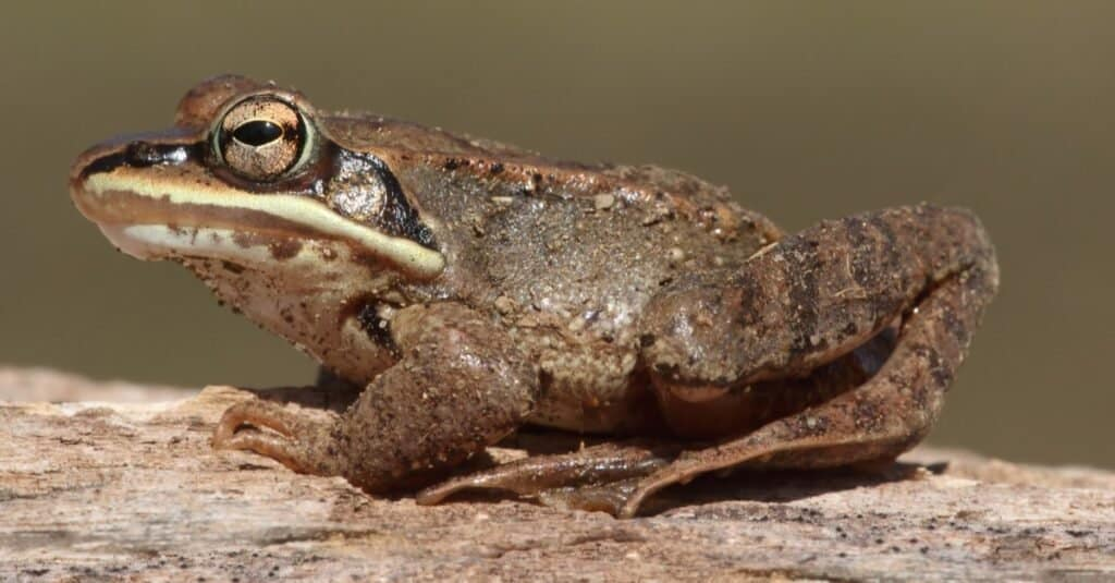 Craziest Animal Adaptations: Wood Frog